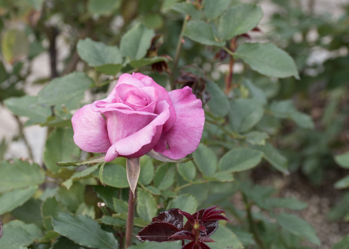 バラ(ショッキング・ブルー)の花。長居植物園で撮影