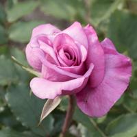 バラ(ショッキング・ブルー)の花