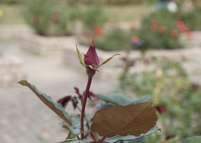 バラ(ショッキング・ブルー)のつぼみ。長居植物園で撮影
