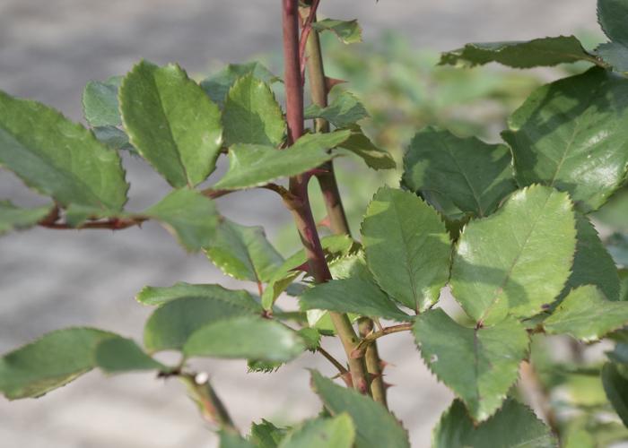 バラ(ショッキング・ブルー)の枝とトゲと葉。長居植物園で撮影