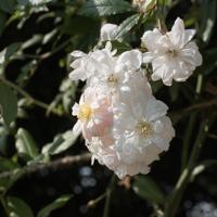 バラ(スノー・グース)の花