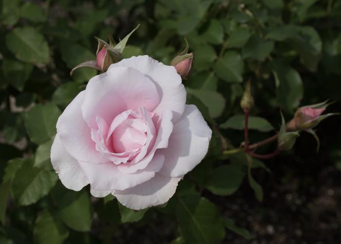 バラ(早春)の花。長居植物園で撮影