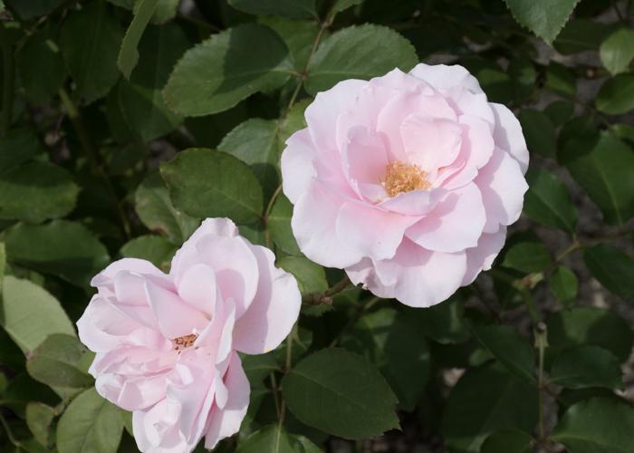バラ(早春)の開ききった花。長居植物園で撮影