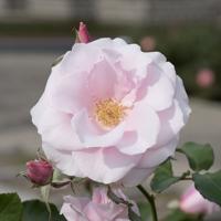 バラ(早春)の花