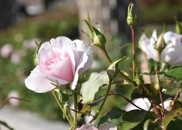 バラ(早春)のつぼみ。荒巻バラ公園で撮影