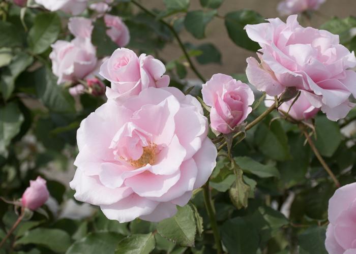 バラ(早春)の満開の花。長居植物園で撮影
