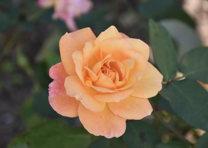 バラ(スヴニール・ドゥ・アンネ・フランク)の花。荒巻バラ公園で撮影