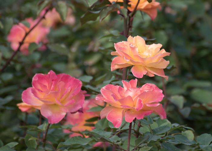 バラ(スヴニール・ドゥ・アンネ・フランク)の花の横顔。長居植物園で撮影