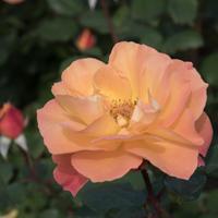 バラ(スヴニール・ドゥ・アンネ・フランク)の花