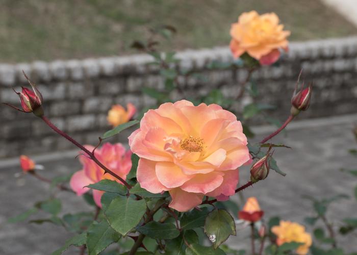 バラ(スヴニール・ドゥ・アンネ・フランク)の花とつぼみ。長居植物園で撮影