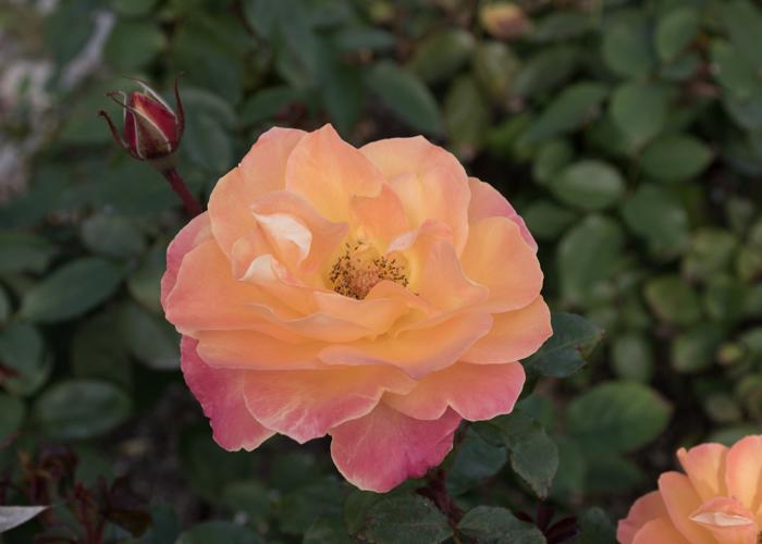 バラ(スヴニール・ドゥ・アンネ・フランク)の花。長居植物園で撮影