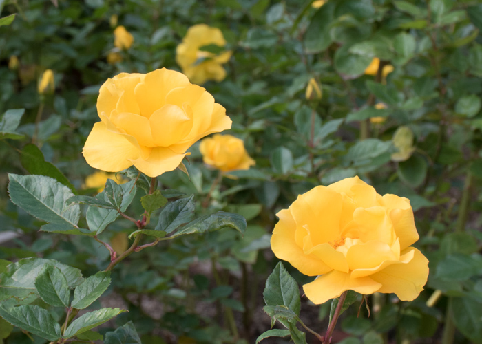 バラ(サプライズ)の花。長居植物園で撮影