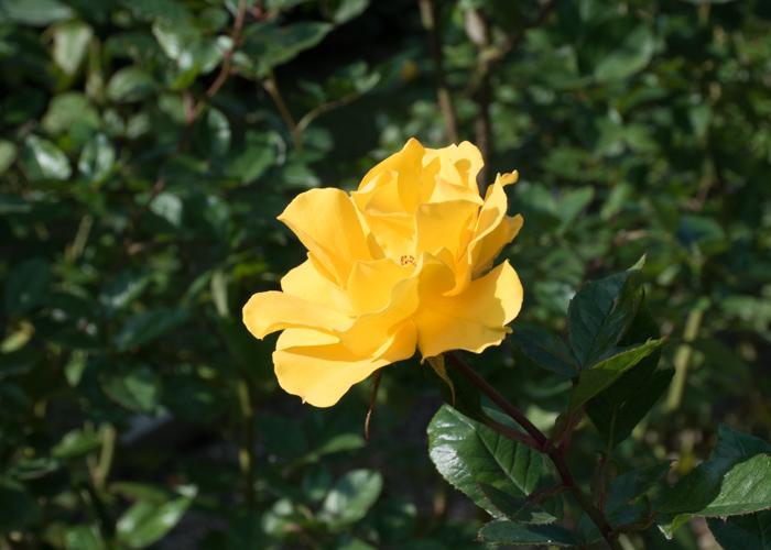 バラ(サプライズ)の花の横顔。長居植物園で撮影