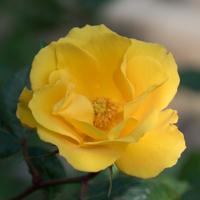 バラ(サプライズ)の花