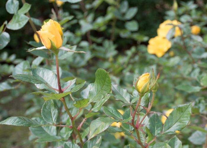 バラ(サプライズ)のつぼみ。長居植物園で撮影