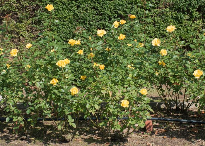 バラ(サプライズ)の木全体。長居植物園で撮影