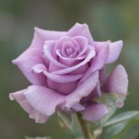 バラ(スイート・ムーン)の花