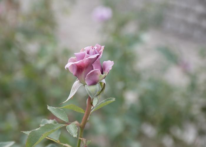 バラ(スイート・ムーン)のつぼみ。長居植物園で撮影