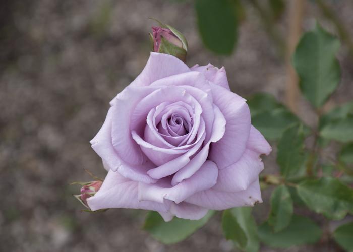 バラ(スイート・ムーン)の花。長居植物園で撮影
