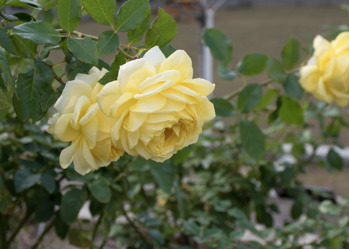 バラ(トゥールーズ・ロートレック)の花。長居植物園で撮影