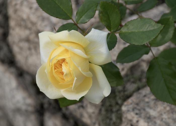 バラ(トゥールーズ・ロートレック)の咲きかけの花。長居植物園で撮影