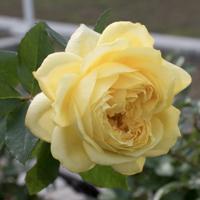 バラ(トゥールズ・ロートレック)の花