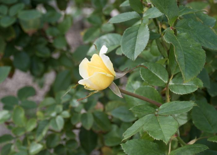 バラ(トゥールーズ・ロートレック)のつぼみ。長居植物園で撮影