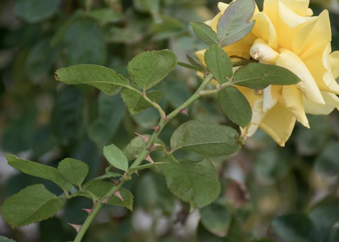 バラ(トゥールズ・ロートレック)の枝とトゲと葉。長居植物園で撮影