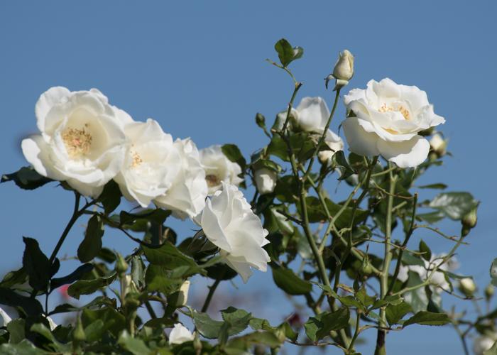 バラ(ホワイト・マジック)の花と青空。庄堺公園で撮影