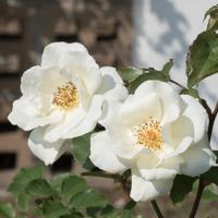 バラ(ホワイト・マジック)の花