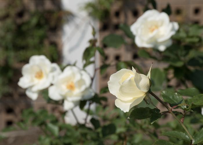 バラ(ホワイト・マジック)の花のつぼみ。長居植物園で撮影