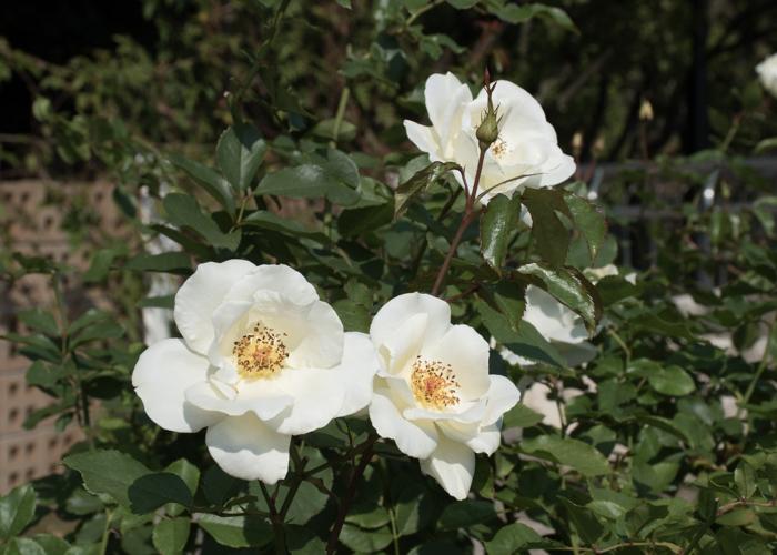 バラ(ホワイト・マジック)の花。長居植物園で撮影
