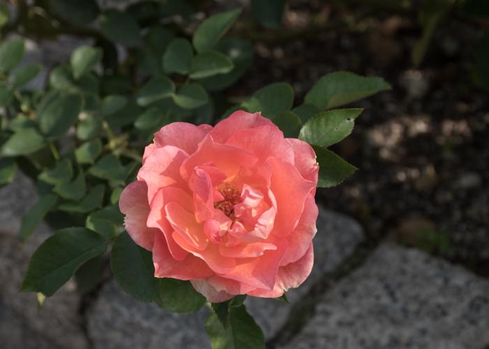 バラ(ザンブラ'93)の花。長居植物園で撮影