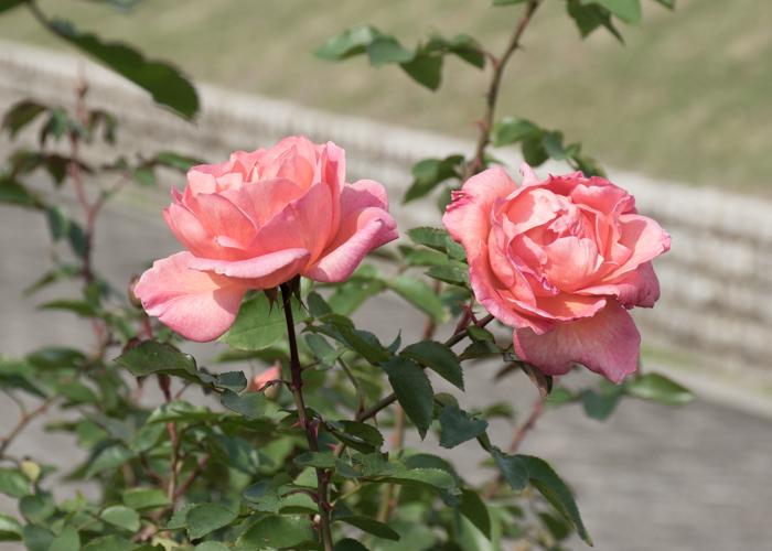バラ(ザンブラ'93)の花の横顔。長居植物園で撮影