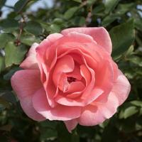 バラ(ザンブラ'93)の花