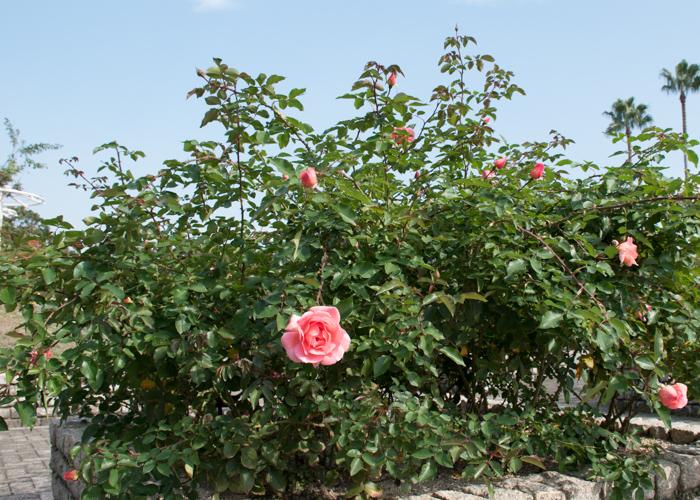 バラ(ザンブラ'93)の木全体、樹形。長居植物園で撮影