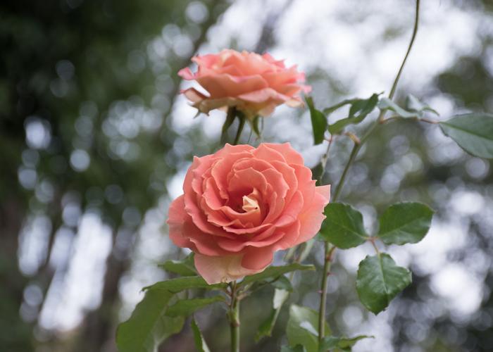 バラ(ブラスバンド)の花。長居植物園で撮影