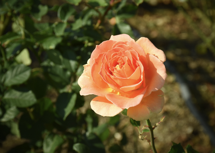 バラ(ブラスバンド)の花。荒巻バラ公園で撮影