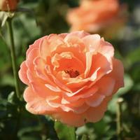 バラ(ブラス・バンド)の花
