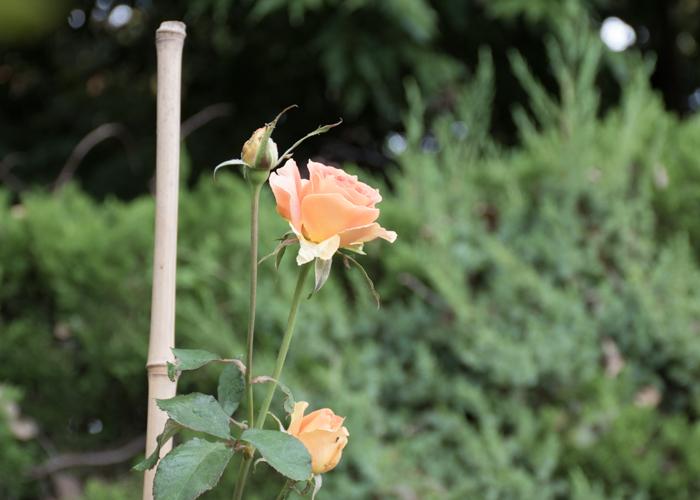 バラ(ブラスバンド)の花の横顔。長居植物園で撮影