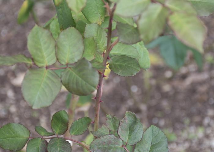 バラ(ブラスバンド)の枝とトゲと葉。長居植物園で撮影