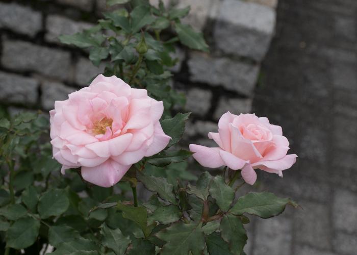バラ(ブライダル・ピンク)の花。長居植物園で撮影