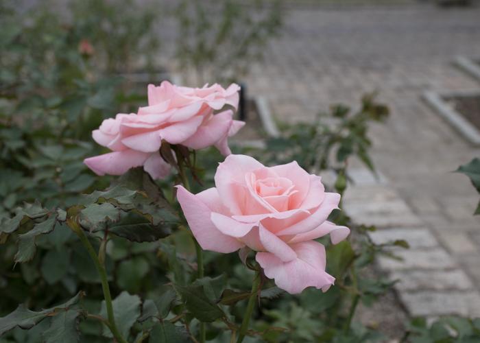 バラ(ブライダル・ピンク)の花の横顔。長居植物園で撮影