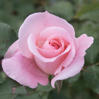 バラ(ブライダル・ピンク)の花