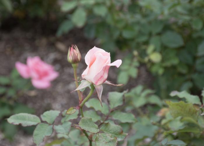 バラ(ブライダル・ピンク)のつぼみ。長居植物園で撮影