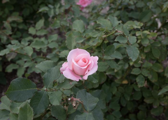 バラ(ブライダル・ピンク)の花と葉。長居植物園で撮影