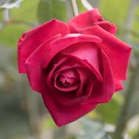 バラ(クリスチャン・ディオール)の花