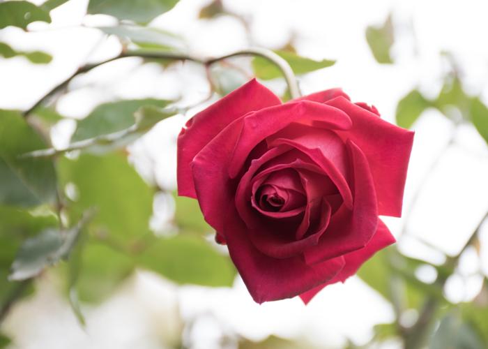 バラ(クリスチャン・ディオール)の花。長居植物園で撮影