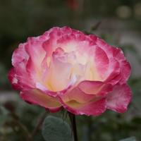 バラ(ダブル・デライト)の花
