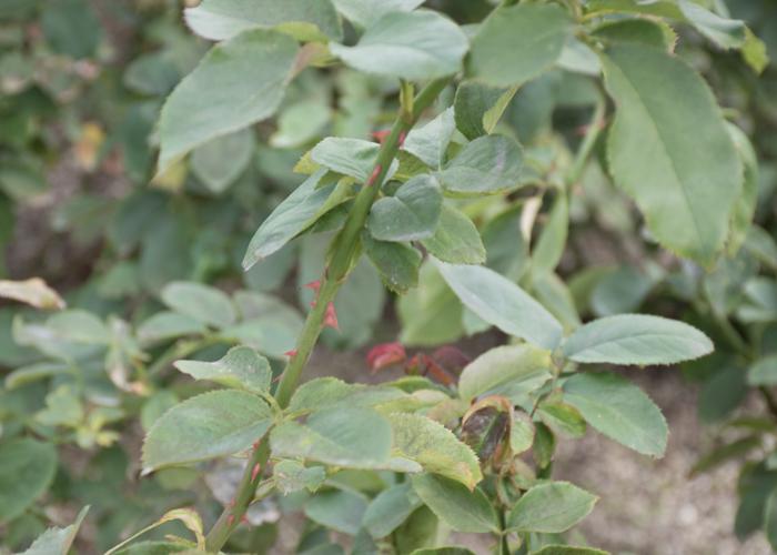 バラ(ダブル・デライト)の枝とトゲと葉。長居植物園で撮影